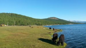 Монголия.Озеро Хубсугул. Домашние животные. Mongolia. Lake Hubsugul. Pets.