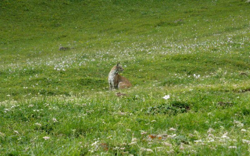 Горы Кетмень. Казахстан. Рысь сидит около дороги. Ketmen mountains. Kazakhstan. Lynx is sitting near the road.