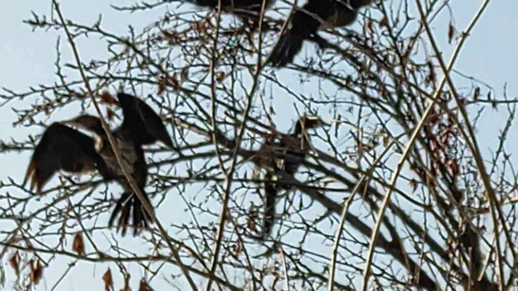 Малые бакланы зимуют в городе. Алма-Ата. Казахстан. Cormorants winter in the city. Alma-Ata. Kazakhstan.