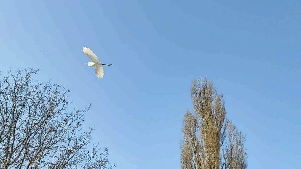 Большие белые цапли зимуют в городе. Алма-Ата. Казахстан. Great egrets winter in the city. Alma-Ata. Kazakhstan.